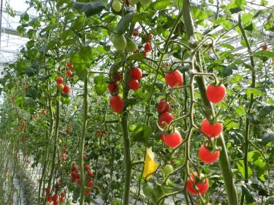 西红柿采摘大棚