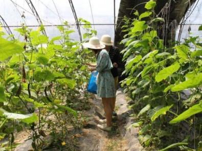 黄瓜采摘大棚